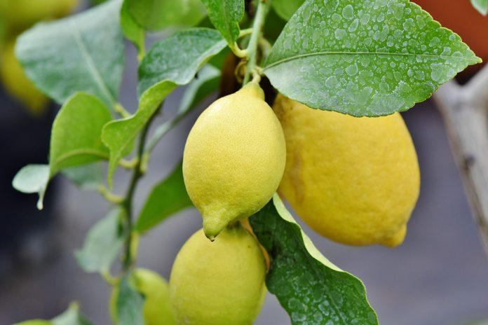 Use limão e alho para controlar pressão alta e limpa as artérias